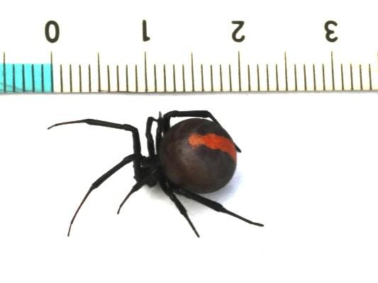セアカゴケグモの画像 p1_31