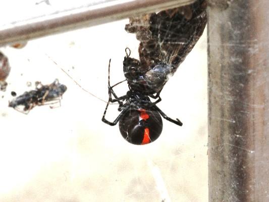 セアカゴケグモの画像 p1_18